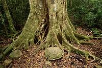 Watkins´ Strangler Fig Ficus watkinsiana roots, in rainforest, Lamington N P , Queensland, Australia