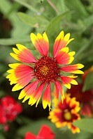 Blanketflower _ Indian Blanket Gaillardia aristata Bloom