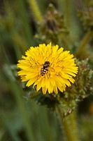 Bristly Ox_tongue Picris echioides close_up of flower, with hoverfly feeding, Dorset, England, july