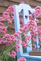Red Valerian Centranthus ruber flowering, abstract view with blue garden chair, Norfolk, England, summer
