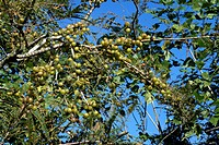Indian Gooseberry Emblica officinalis fruits, medicinal tree, India