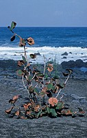 Seagrape Coccoloba uvifera seaside planting on lava, Tenerife, Canary Islands