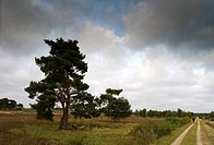 Trees and heather under clouded sky, Luneburg Heath, Lower Saxony, Germany, Europe