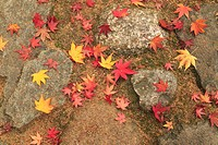 Fallen maple leaves on cobblestones, high angle view, close_up