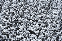 Japan, Shiga Prefecture, Snow covered forest, high angle view B&W