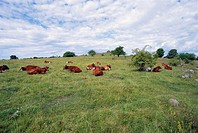 Herd domestic cows in pasture