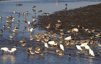 Florida Mixed species of Waders, Egrets,Herons & Ibis on Ding Darling Nat Wildlife