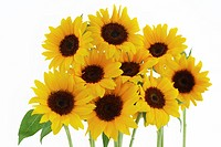 Bunch of sunflowers on white background, close_up