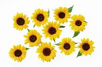 Sunflowers on white background, close_up
