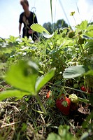 Ripe strawberries, biological dynamic bio_dynamic farming, Demeter, Lower Saxony, Germany