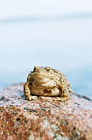 A brown toad on a stone close_up.