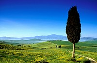 Pine under blue sky, view to Monte Amiata, Val d´Orcia, Tuscany, Italy, Europe
