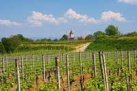 Vineyards at Koenigschaffhausen, Spring, Day, Kaiserstuhl, Baden_Wuerttemberg, Germany, Europe