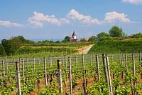 Vineyards at Koenigschaffhausen, Spring, Day, Kaiserstuhl, Baden_Wuerttemberg, Germany, Europe