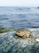 Toads on a rock.