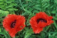 Oriental Poppy Papaver orientale, Turkenlouis variety.