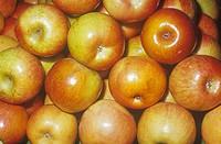 Apple variety Fuji Malus domestica, native to Asia Minor.