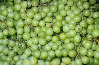 Green Table Grapes Vitis