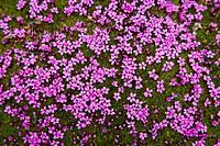 Purple saxifrage (Saxifraga oppositifolia), Svalbard, Norway