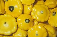 Patty Pan Squash variety Sunburst Cucurbita pepo