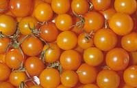 Cherry Tomato variety Sun Gold Solanum lycopersicum