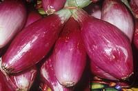 Onion variety Purple Torpedo Allium cepa