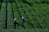 Tea farmers working on a tea plantation, Rueili, Alishan, Taiwan, Asia