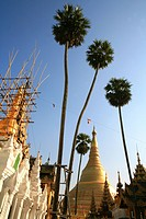 View at palm trees and the stupa of the Shwedagon Pagoda, Rangoon, Myanmar, Burma, Asia