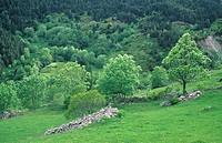 Trees in spring, La Cerdanya, Girona, Pyrenees, Catalonia, Spain
