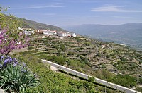 View of mountain village with ancient hillside terracing, Spanish Iris Iris xiphium flowering, Monfrague, Extremadura, Spain, april