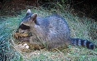 Raccoon Procyon lotor raiding a Northern Bobwhite nest Colinus virginianus, Eastern North America.