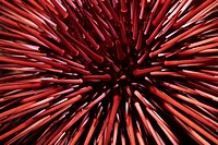 Red Sea Urchin Stronglyocentrotus franciscanus on Santa Cruz Island in the California Channel Islands National Park