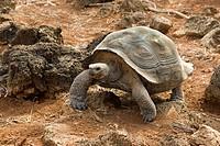 Galapagos Giant Tortoise, Geochelone elephantophus chatamensis on san Cristobal, island, Galapagos,