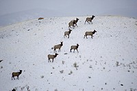 Female herd of elk on snow covered hill side, yellowstone national park