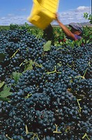 Harvest impression, Merlot grapes in a vineyard around Helderberg belonging to Flagstone winery, Helderberg, Western Cape, South Africa, Africa