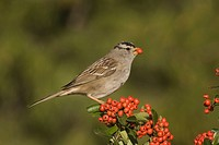White_crowned Sparrow Zonotrichia leucophrys eating a Pyracantha berry, North America.