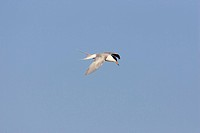 Forster´s Tern, Sterna forsteri,in flight florida, adult,