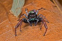 Jumping Spider Parnaenus cyanidens in the rainforest of Panama showing the large and iridescent chelicerae, legs, and multiple eyes.