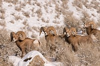 A group of California Bighorn rams Ovis canadensis californiana during the rut stop to take a break while feeding, just West of Kamloops, British Colu...
