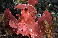 Paddle_Flap Scorpionfish Rhinopias eschmeyeri, a venomous, odd_shaped, bottom dweller with paddle_like skin flaps, Pantar Island, Indonesia.