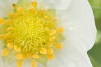 Close_up of a Strawberry Blossom Frageria.