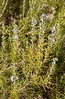 wild Rosemary growing in Spain