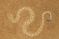 Peringueys Sidewinding Adder Bitis peringueyi on a Namib Desert sand dune, Namibia.