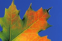 Maple leaf in autumn, Ottawa, Ontario, Canada