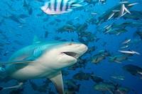 Bull Shark Carcharhinus leucas, Fiji.