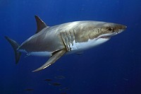 Great White Shark Carcharodon carcharias, Guadalupe Island, Mexico.