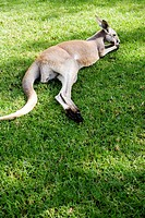 A kangaroo on a lawn.