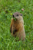 Groundhog Marmota monax feeding on dandelion leaf in green summer meadow, Ontario, Canada
