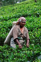 tea picking _ Sri Lanka