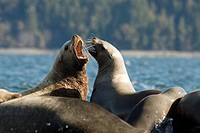 Spring herring spawns attract sea lions to Fanny Bay on Vancouver Island, British Columbia, Canada.